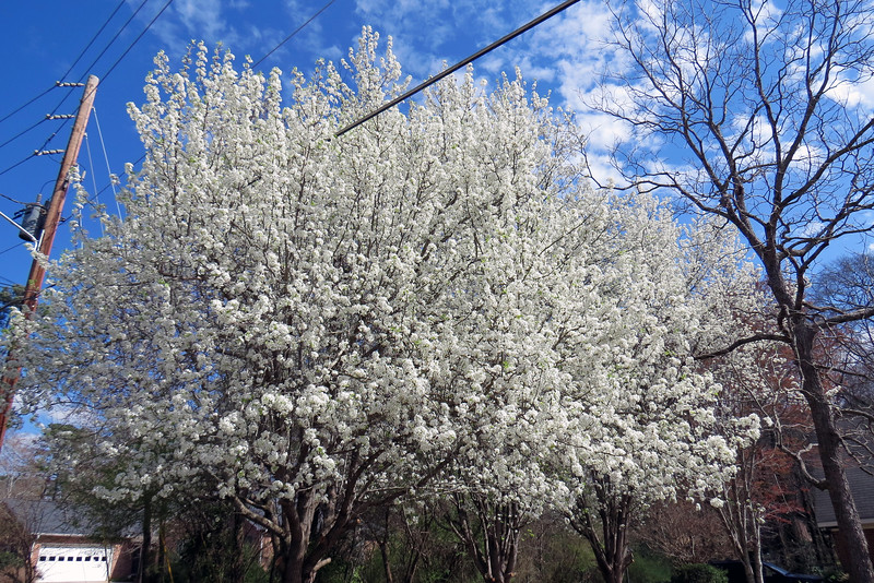 More white flowering trees.