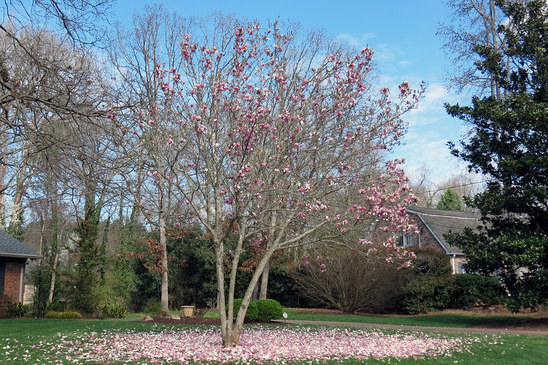 I believe this is some kind of Magnolia tree.