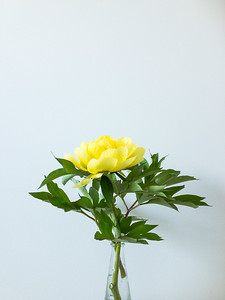 Yellow Peony on White