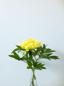 Yellow Peony on White