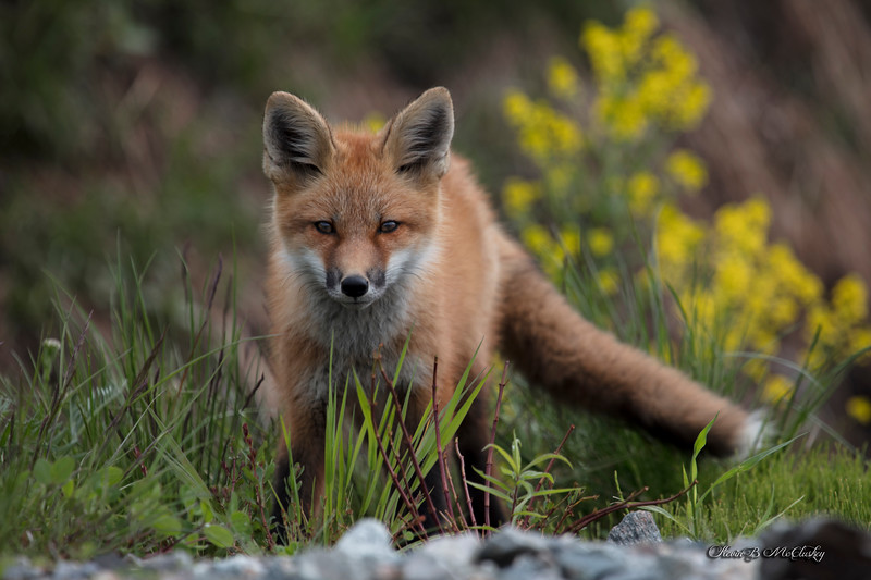 The Quick Red Fox...