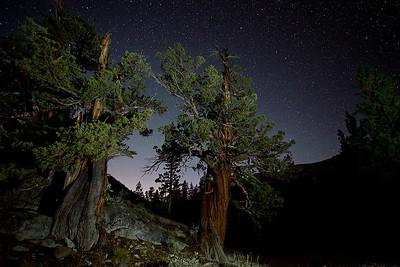 Sierra Nevada Juniper