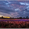 Field Of Lights Uluru 1
