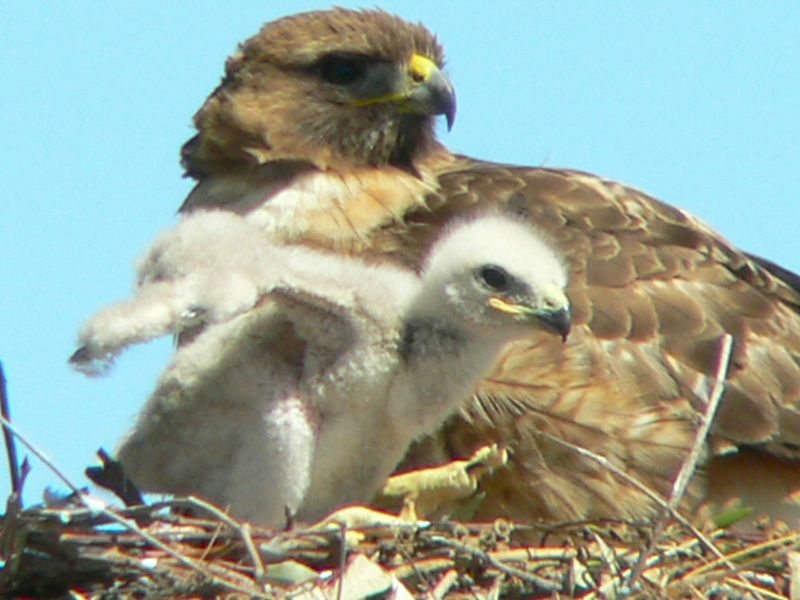 The babies are beginning to take their first tentative attempts at walking about the nest, but have a hard time finding their balance...