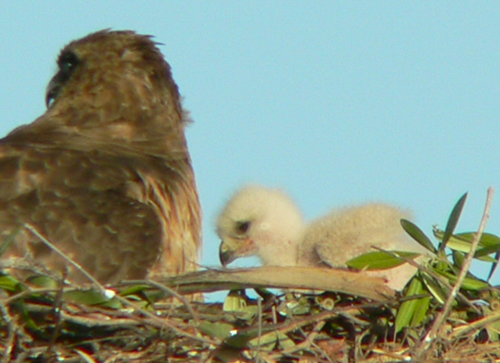 It's now April 20  and the little ones are around 10 days old.  They're starting to wander around the nest and are becoming rambunctious, especially when Mom isn't looking...Ruth Lahendro, one of the hospital staff and a hawk-watcher since the first set of babies a few years back, said a small bird was buzzing the nest causing Mina to spread her wings protectively over her brood.  After I took this pic Mina was still on the defensive, hunkering down and keeping a close watch on a passing gull.