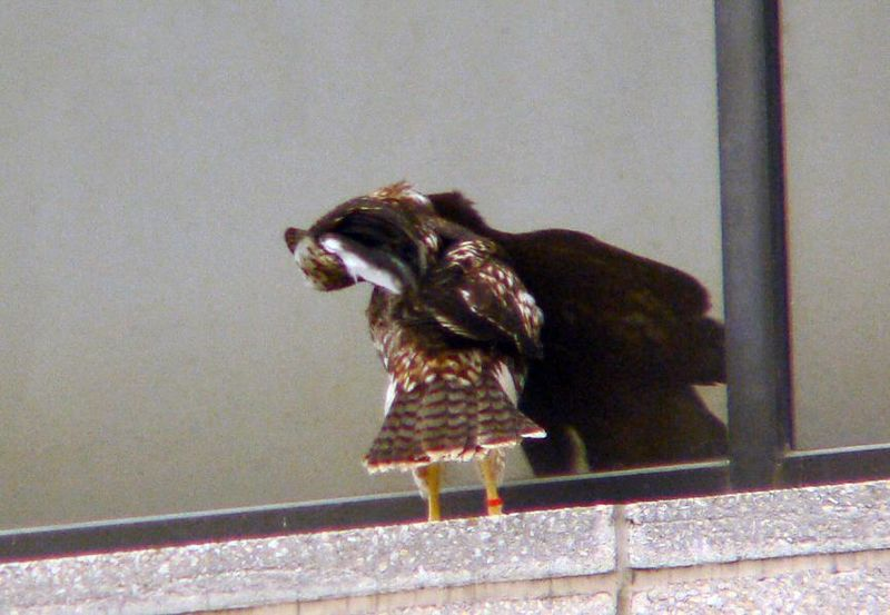 She makes her way around the ledge, still looking at the other fledgling staring back at her...