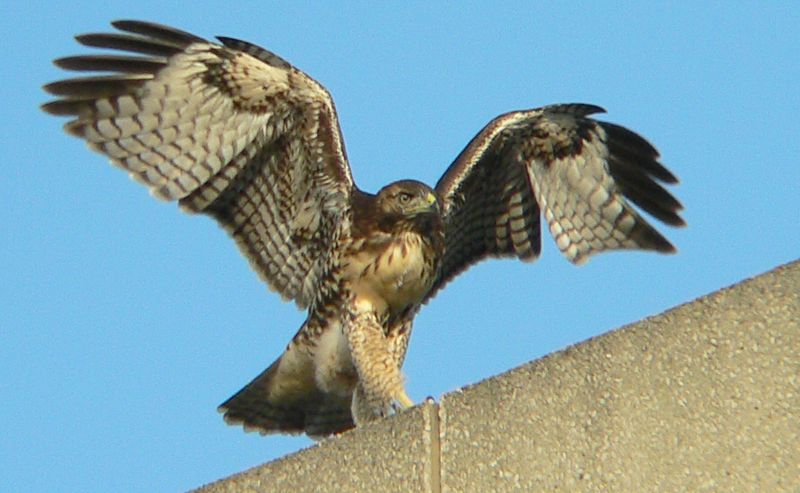 The hawklet lands back on the ledge, then spreads its wings in preparation for another takeoff.  Here though it looks as if it's balancing on a tightrope...
