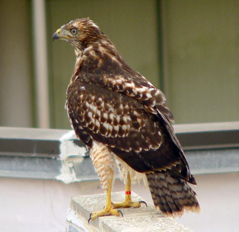 The Rehab folks have put a red band on her right leg for ID purposes.  It's meant to be temporary; it most likely will eventually fall off, but at least it's a way for hawkwatchers to differentiate her from her siblings.  We still have a hard time telling the other 2 --- one female, one male , according to SBWR --- apart,  so at least we positively ID one --- for now.