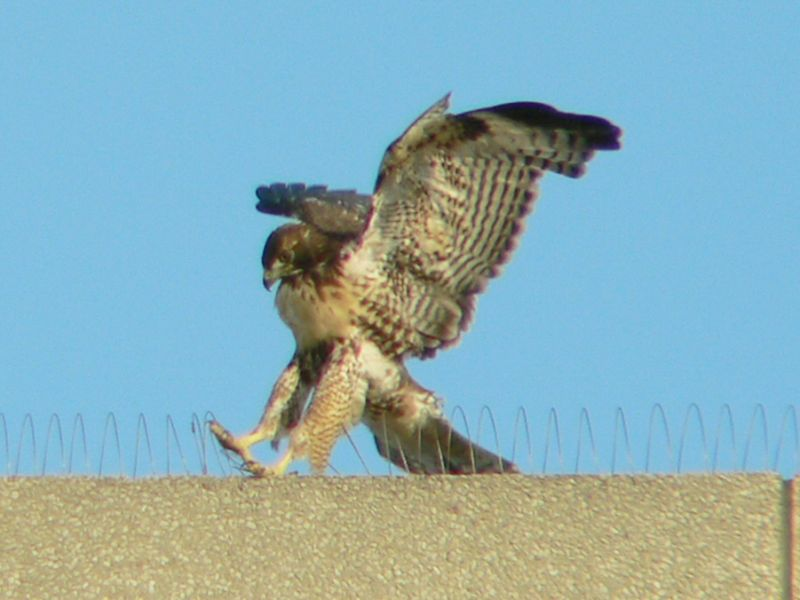 Landings can be kinda rough, however...Here a hawklet has to contend with anti-bird loops.