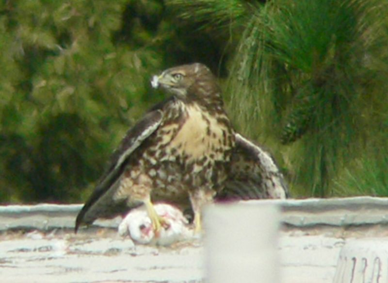 "Just as I was thinking, ""Oh well, looks like the action's going to take place far away from me"" --- he flies right at me.  I'm on a balcony right next to a pine tree that the Family uses as a perch to eat or rip up prey.  He almost gets to the tree, then the older hawklet hurtles into him, causing the pigeon to drop on the ground right below me.  Now I'm thinking Wow, now I'm almost TOO close..."