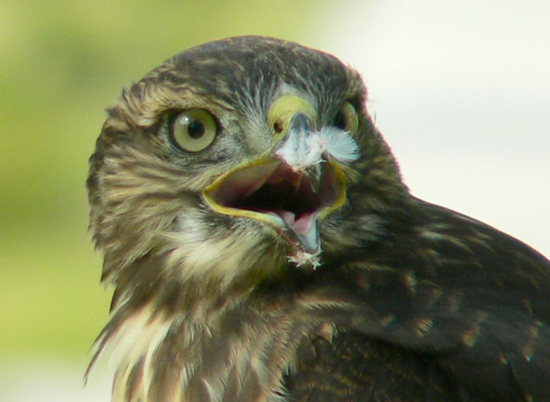 "Now's a good time to point out a prominent feature of a Red-tail's face. The greenish-yellow section at the base of the beak is called a ""cere"". Charles Preston writes, ""its color may play a significant role in signaling age and physical condition in [diurnal raptors]. Typically, the cere is light green in young Red-tailed Hawks but changes to bright yellow with age."""