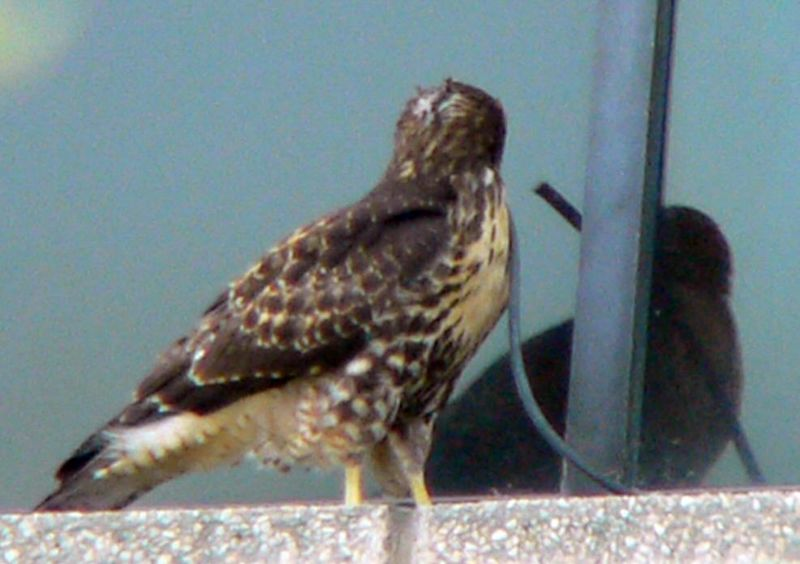 It looks as if he checking himself out in the window admiring his  technique...or wondering why that same hawklet is always doing the same thing he's doing...