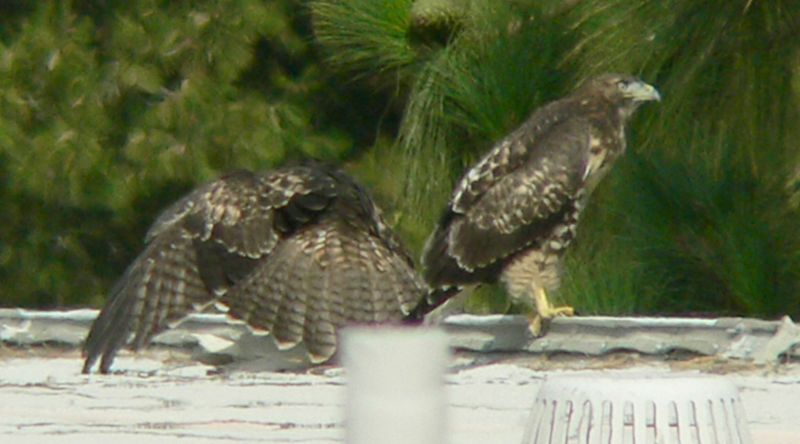 About 20 minutes later, I see MIna drop something off on the Lakeside rooftop.  The youngest hawklet immediately pounces on and spreads his wings around it, shielding it from all prying eyes...and camera lenses...The oldest hawklet feigns indifference but as the unfolding sequence shows,  she's probably calculating her next move.