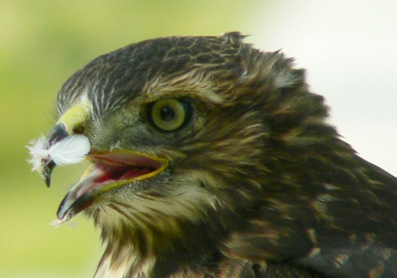 "Again, Charles Preston --- ""The large eyes of a raptor are positioned on the front of the face, affording binocular vision and excellent depth perception.  If our eyes were as large in proportion to our bodies as the eyes of a Red-tailed Hawk, they would be about the size of tennis balls.""  Now THAT puts things in perspective..."