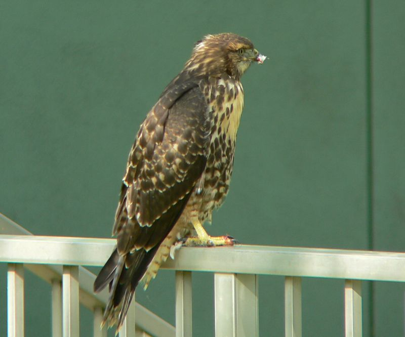 Meanwhile, the youngest hawklet sits dejectedly on a nearby railing, with only bloody talons and a tufted beak to show for its time with the pigeon.