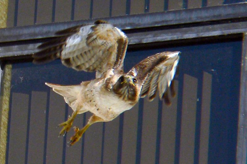 then flies off in the seemingly never-ending search for food for her children.  She'd just dropped off food to the hawklets who are just around the corner, but she's always on the lookout for more...