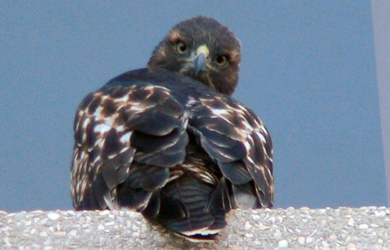 "Meanwhile, on the front of the building, another hawklet swivels its head ""Exorcist-like"" to look back at me. Once again, Charles Preston: "" Each eye is protected by a ring of bone and moves only slightly in its socket.  Thus, a raptor must move its entire head to change its viewing perspective.  A flexible neck allows the head to move through an extremely wide range of motion.  It's the next best thing to having eyes in the back of its head [!]"""