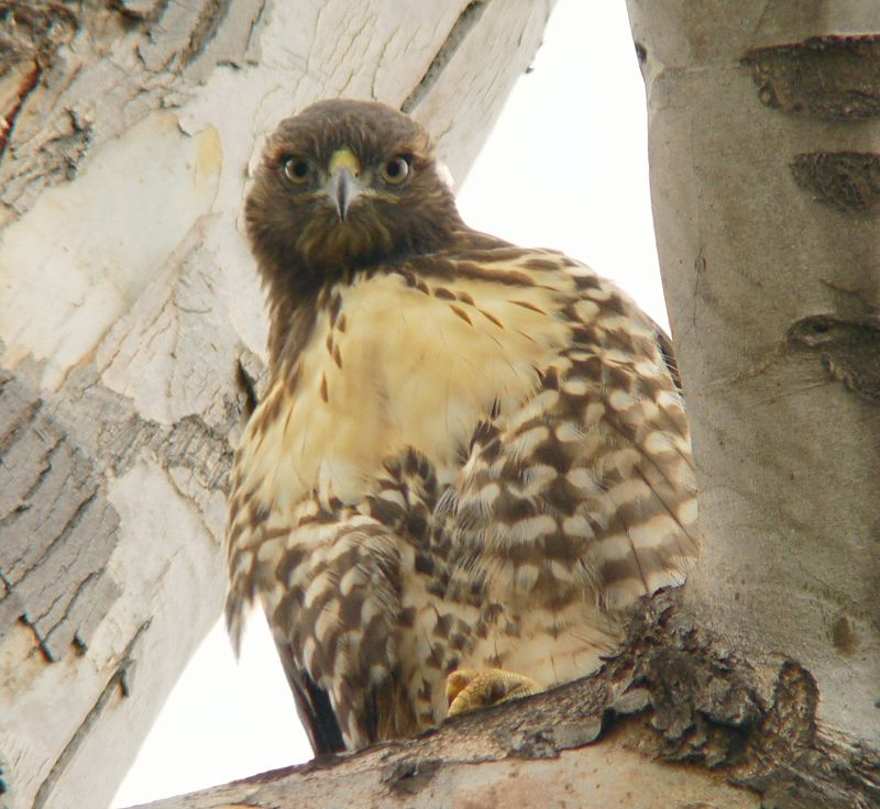 I believe this is the oldest hawklet roosting in the tree.  She seems to be quite interested in me, cocking her head quizzically...