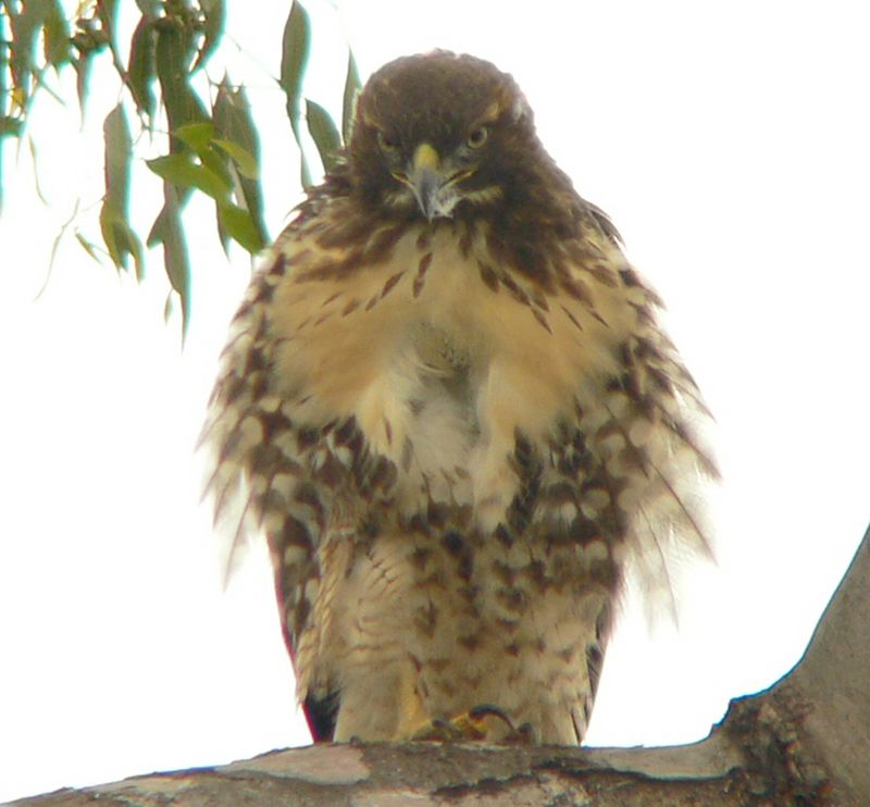 "She then preens, fluffing up her feathers to give herself a disheveled look. You can see a loose piece of fluff in her beak.  I've noticed only one foot is usually visible when the Red-tails are perched; Charles Preston in ""Red-tailed Hawk"" writes, "" Significant heat may be lost through the bare legs and feet.  To reduce this loss, a red-tail usually perches on only one leg at at time, drawing the other up under the plumage covering the lower abdomen and upper leg.  The position of the two legs may be alternated frequently."""