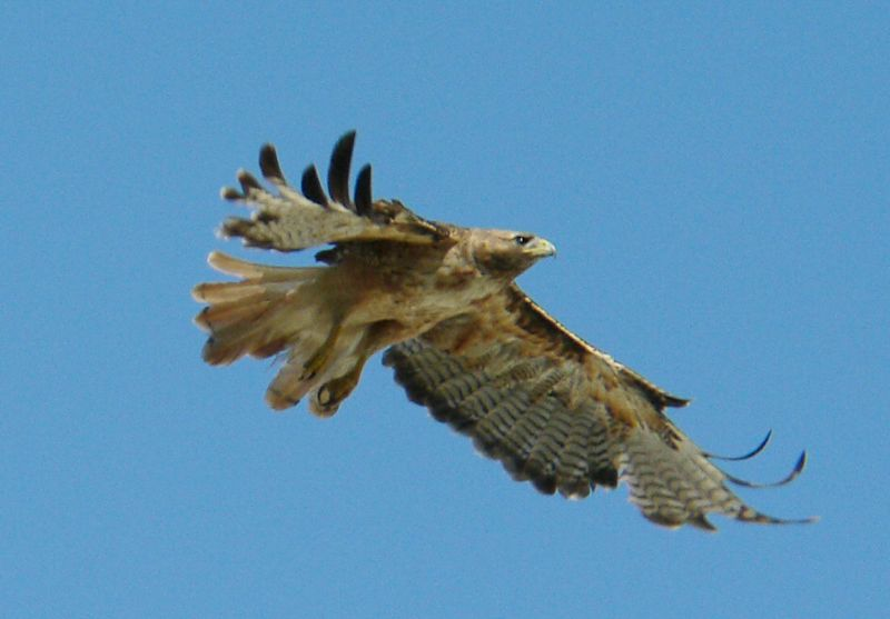 "One of the ways to distinguish a flying Red-tail from a distance is the wing-tips are often curved up.  Here's Charles Preston --- ""With its broad, slotted wings providing substantial surface area in relation to body mass, a red-tail is said to possess low wing loading.  Such a bird is able to remain buoyant in the atmosphere with relatively little energy expenditure.""  In other words, they're aerodynamic marvels..."