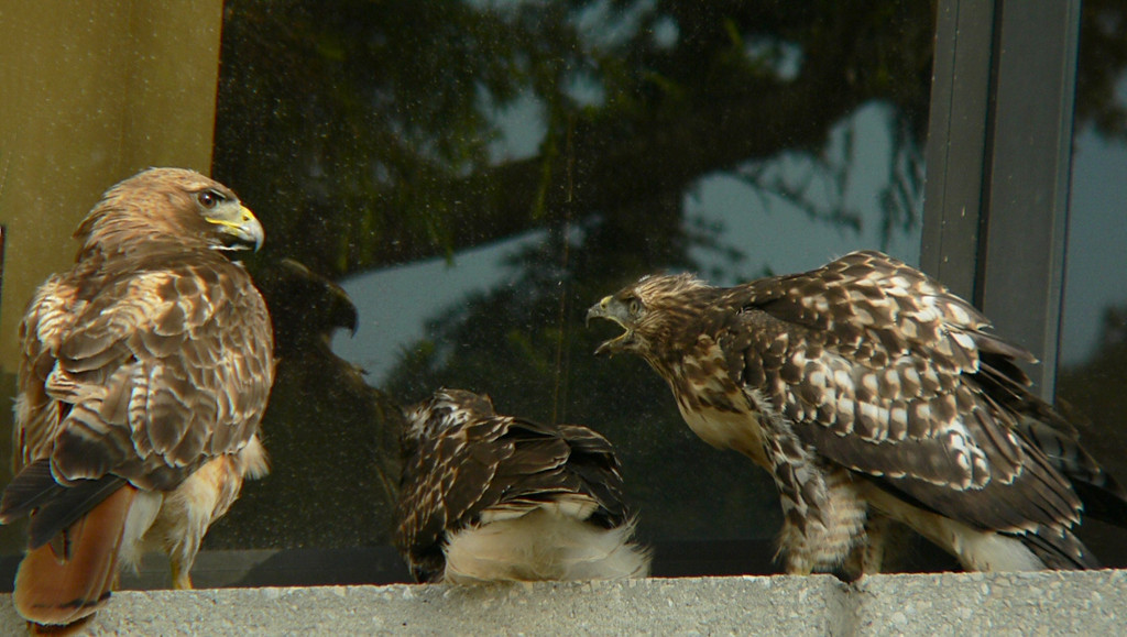by this time the window blinds have opened and the person inside is greeted by the spectacle of 3 hawks on the ledge with a guy across the way taking photos.  I wave, and the guy inside waves back....hesitantly...