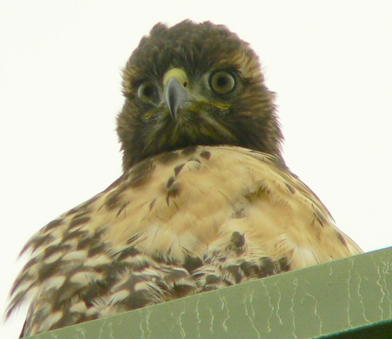 As I'm in the area early Saturday morning I stop by to see if there's any action.  Things are quiet but one of the hawklets is looking down on things from the roof of the Lakeside building.  Here it's looking back at the Big Eye that's been staring at it since April 10 or thereabouts...
