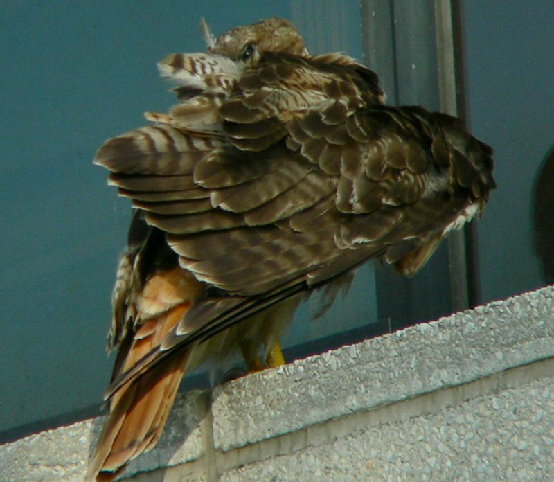 """Mom responds by cleaning her feathers.  Red-tails """"preen"""" 30% or more of their waking hours , and judging from the mess of feathers, there's lots of maintainance involved..."""