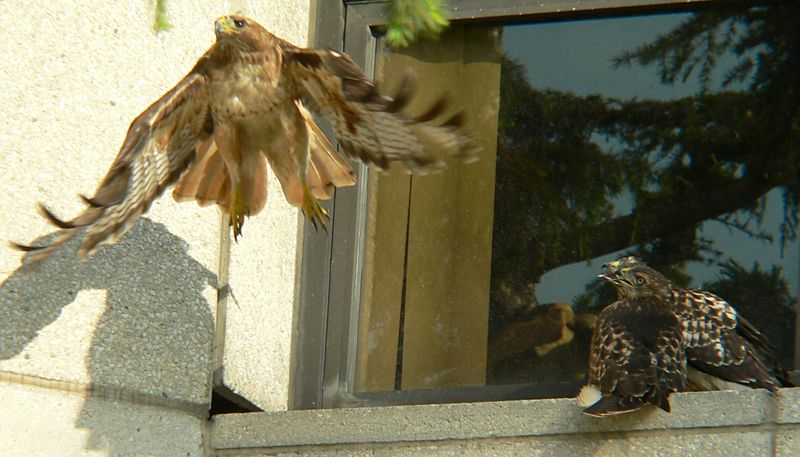 """Then MIna flies back to the pine tree while the hawklets admire her flying technique (""""gee, she makes it look so easy!"""")"""