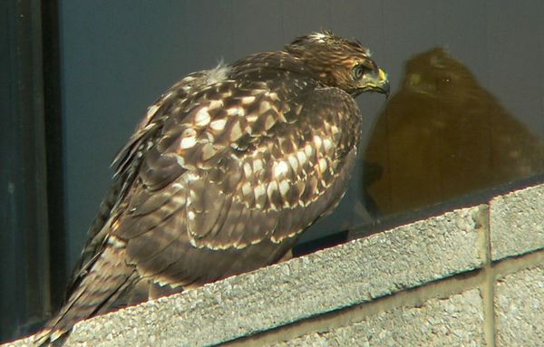 June 4 --- It's Back to Mom, the 3 Hawklets, and (occasionally) Dad