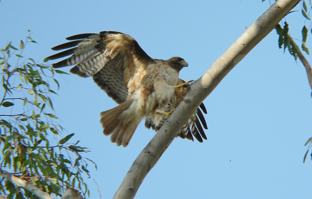 once again hops to the top branch whereupon she flies off to find to 3rd hawklet.