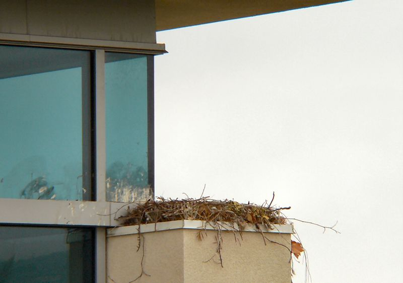 "I go up to the roof of the building opposite and get a closeup view of the nest for the last time.  The window cleaners will be able to get the ""whitewash"" off in about a month's time (if they can; it's probably about as hard as concrete by now) but the nest should stay untouched.  That way it will be ready for next year and only minor repairs should be needed for any damage that may occur.  Red-tails use the same nest over and over again, and it has the 2 qualities that are most important --- easy access from above and an unimpeded view of the surrounding area.  That roof overhang also acts as a nice rain cover."