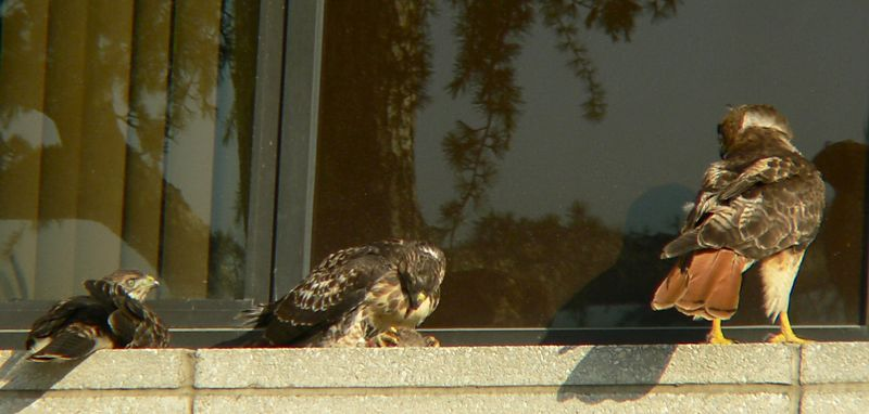 she flies back to the ledge with the mouse.  Seeing that their appetites are satisfied for at least a while...