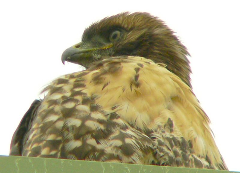Meanwhile, the hawklet is still checking out its surroundings..