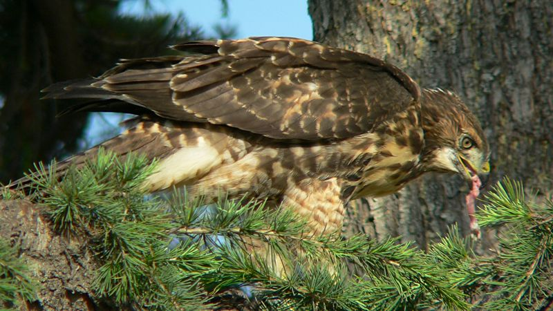 while one of her siblings is in the pine tree eating.  Mina seems to be placing some of the food where the hawks will have to work to get it --- in this case, flying to the tree and jumping to the branch.