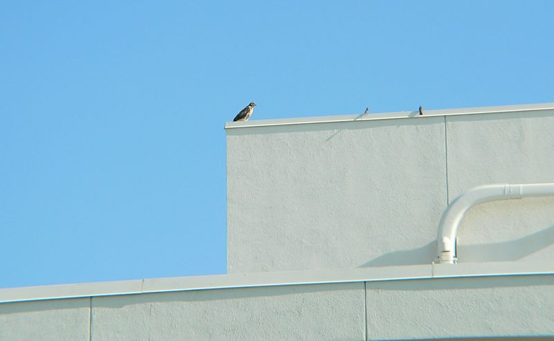 Here's a view of how far away I actually was when taking this sequence.  It's becoming more difficult to take closeup shots as time goes on, but my Panasonic FZ20 with its huge zoom can still pull things in.  And it looks like 2 sparrows are curious about what's going on...