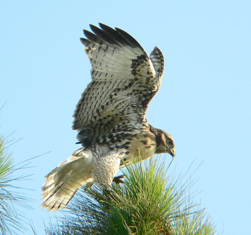 The other hawklet is on a pine tree and is discovering that pine needles make for a precarious perch...