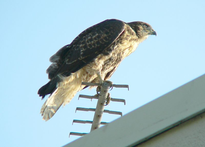 Meanwhile, Mom has deposited more food on another part of the Lakeside roof.  It may still be alive as I see the other 2 hawklets making a big commotion over it. Afterwards, one of them perches on the TV aerial in the late-afternoon sun...