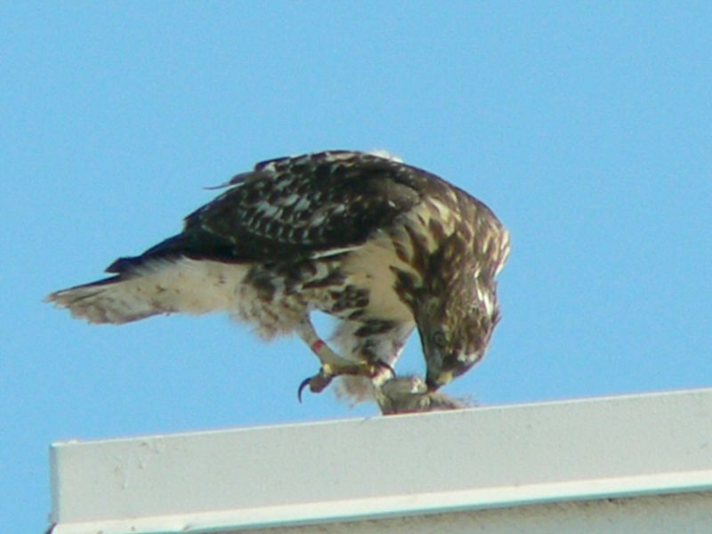 "A raptor has 4 talons, the longest of which is on the hind or back toe, which you can see here. It's called the ""hallux"" and is the equivalent of the human big toe.  Along with the curved bill, the talons are the Red-tailed hawk's main weapons and are extremely efficient."