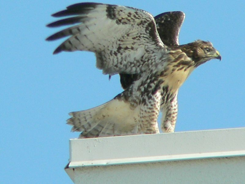 "This is a good picture of what Marianne, a fellow hawkwatcher, calls ""pantaloons"", i.e., the feathered part of the legs."