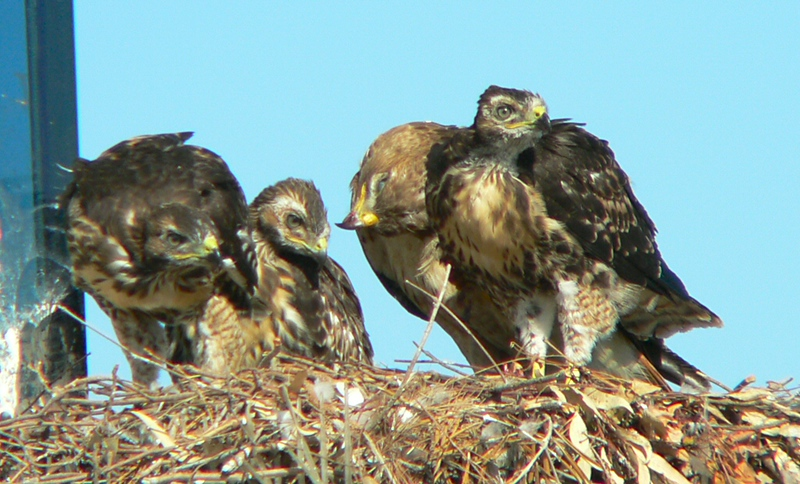 It's now May 21, approximately 41 days since the first egg hatched.  Mina still offers motherly help and concern while the hawklets try to look like the fierce predators they'll grow up to become.