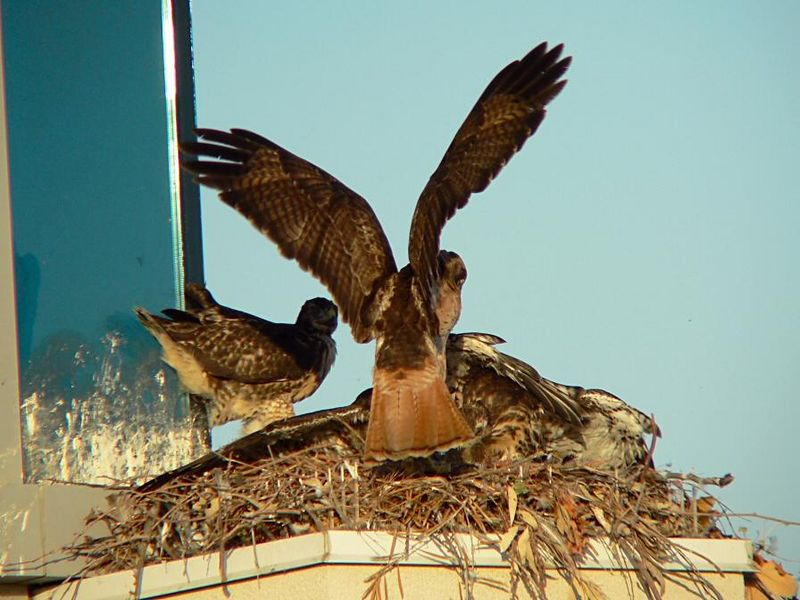 The 2 hawklets spread their wings over it...