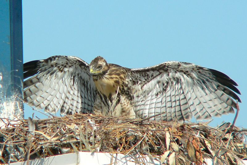 It's around 4:30pm and one of the hawklets is spreading its wings, showing the different types, shapes and colors of its feathers.  Now THAT'S a pair of wings anyone would be proud to have...