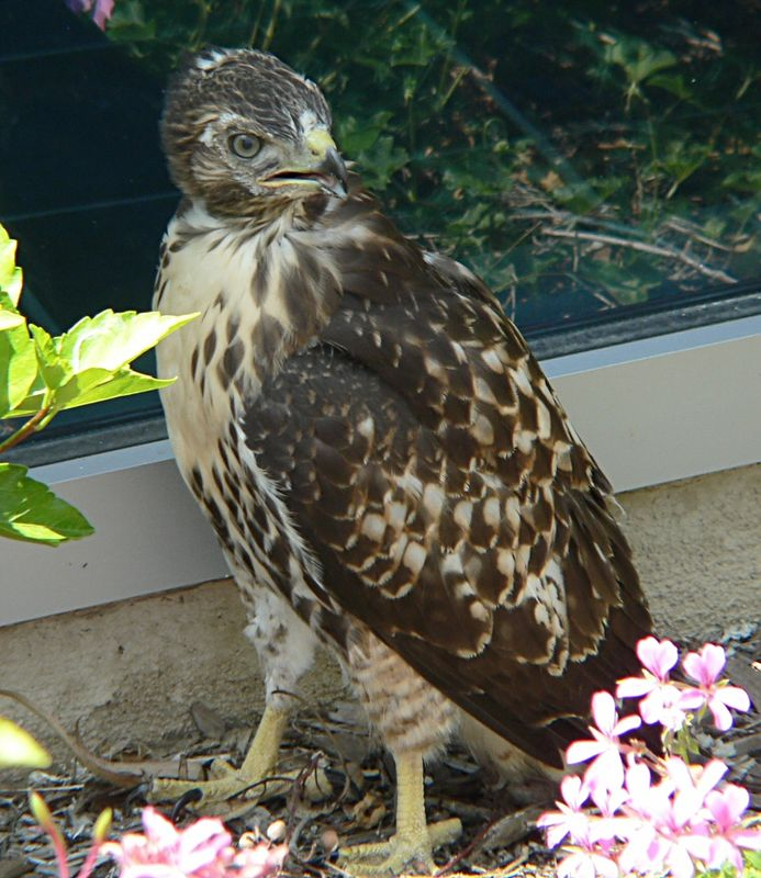 At around 2pm someone comes in to the pharmacy and tells me that one of the hawklets is on the ground after trying to fly and smacking into a window.  I hurry out to find it seemingly uninjured --- but drawing a crowd of people concerned for its welfare but not knowing what to do to help.  Where is Mom and Dad?  Is it capable of flying to a tree or building after hitting a window --- and on its first day of flight?