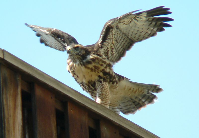 Mom settles into a nearby tree; the hawklet sees her and races to the end of the railing.