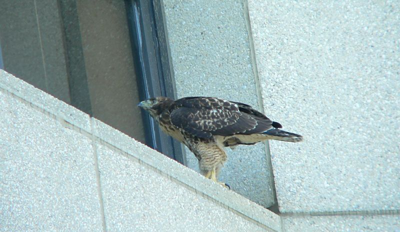 The older hawklet has already taken up Mina and Willie's habit of peering into the windows of the main hospital building.  There have been many patients staying in the hospital who've been astonished --- and excited --- to look out their windows only to see a Red-tailed Hawk gazing back intently at them. Their presence here is regarded as therapy by many...