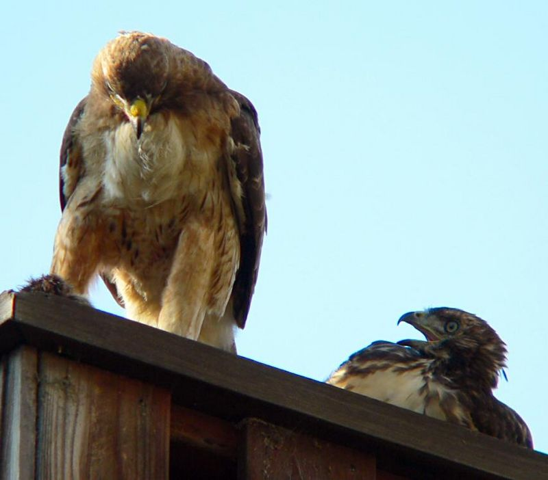 "To hear what I heard during this ""exchange"" --- the Red-tail Hawk Talk --- you can go to this page    <a href=""http://www.hawk-conservancy.org/priors/redtail.shtml"">http://www.hawk-conservancy.org/priors/redtail.shtml</a>     and click on the rectangular box next to ""Voice""."