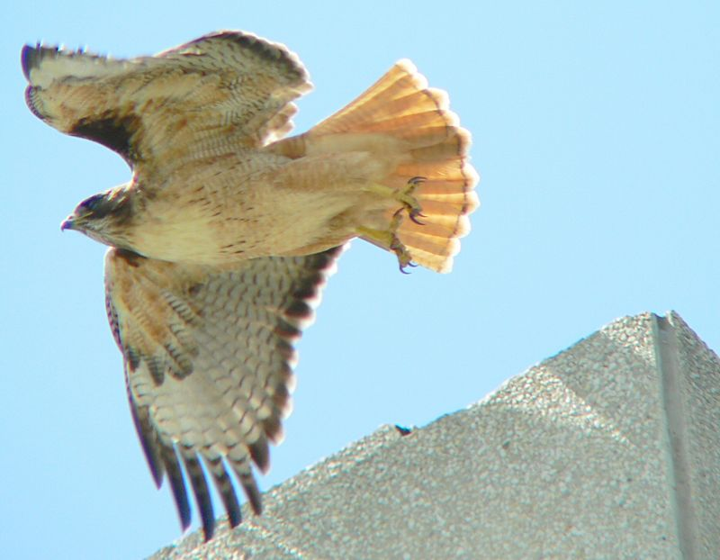 Mina taking off from one of her many perches on the hospital buildings.  I've noticed from my vantage point on the roof that she invariably keeps the  nest in view  whenever she flies off it.  Willie does the out-of-sight hunting while Mina makes sure she has a line-of-sight to her babies.  An interesting related fact about hawks is that their eyesight is 8 times as powerful as a human's.