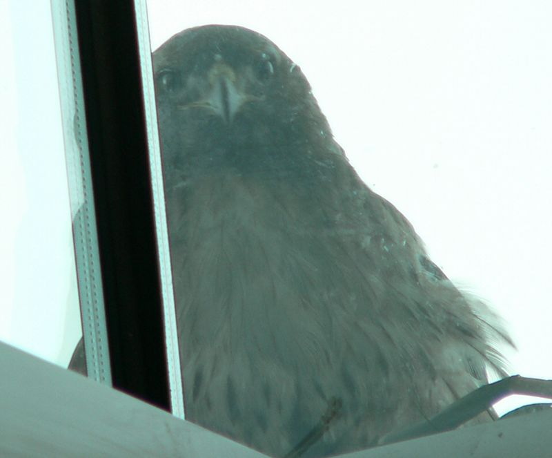 This photo of Mina was taken from the inside of the building the nest is on.  It's an open stairwell so it's really hard to get a good look at things. The  glass hasn't been cleaned for awhile and Karen Munoz, one of the hospital staff,  told the window washers to stay away from these windows so she doesn't get spooked and abandon both nest and babies.   She DOES sometimes get agitated by her reflection; she probably thinks it's another hawk.