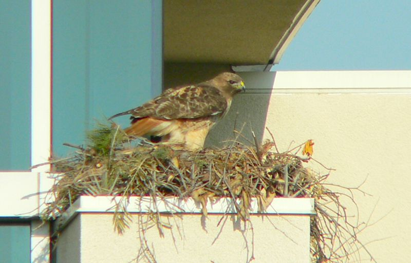 """This is a pretty well-constructed nest especially if you consider it was done by beak and talons.  Kaiser uses flexible """"stakes"""" to stop birds from roosting on lights and parts of buildings, but the R/Ts built the nest in such a way that the spikes actually seem to help hold the nest in place."""