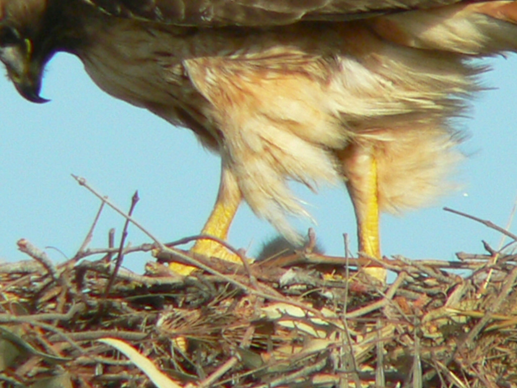 "It's now April 13 and that fuzzy shadow between Willie's legs is my first sighting of a baby.  Most of the hospital staff's ""hawk watchers"" believe the egg(s)  (no one's quite sure how many yet) hatched on April 10, when Mina started spending more time at the nest."